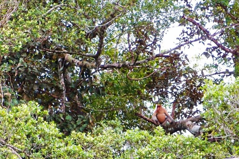 沙巴(Sabah)-凱爾斯生態保護區(Klias Proboscis Monkey Conservatory):拜訪國寶長鼻猴與奇幻感賞螢之航 -蜜月遊記